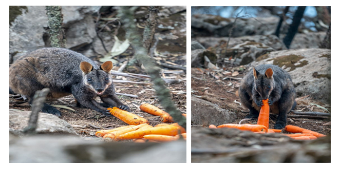 (PICS)Starving Animals Eat Food Dropped By Helicopters amid Australian Bushfires