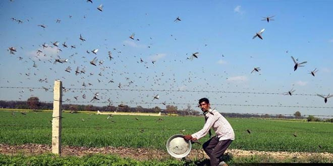 Punjab Government issues advisory to tackle Locust attack